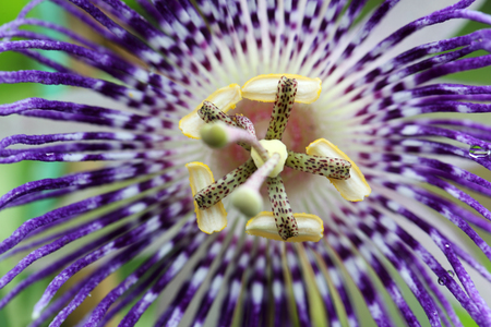 close up of passionflower