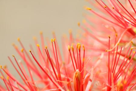 powder puff: close up of powder puff lily flower Stock Photo
