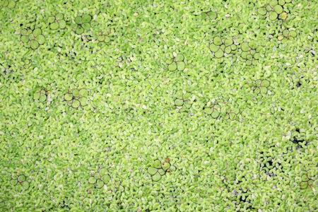 duckweed: duckweed background.