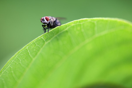 animal vein: fly on green leaf as background,shallow DOF. Stock Photo