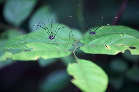 harvestmen: couple of long leg spider