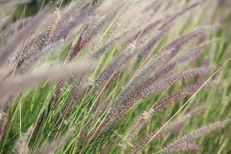 canne: canne sfondo di erba