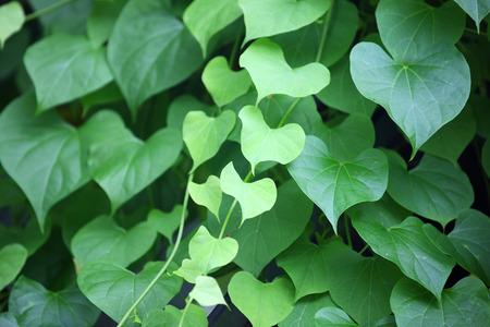 heart shape leaf as background.