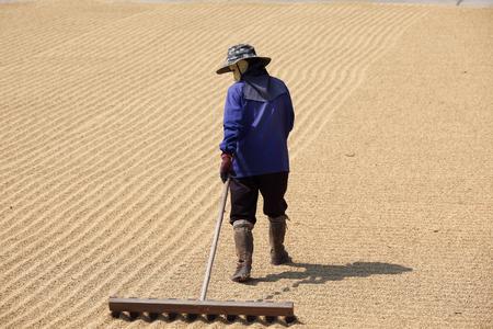 tending: farmer tending and drying harvested rice on ground.