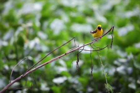 weaver bird: golden weaver bird with green background.