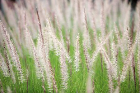 ance: canne sfondo di erba. Archivio Fotografico
