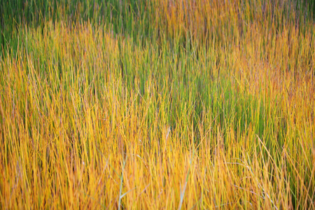 sedge: colorful sedge plant Stock Photo