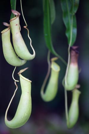 pitcher: tropical pitcher plant