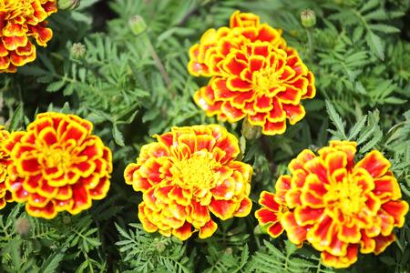 tree marigold: french marigolds flower