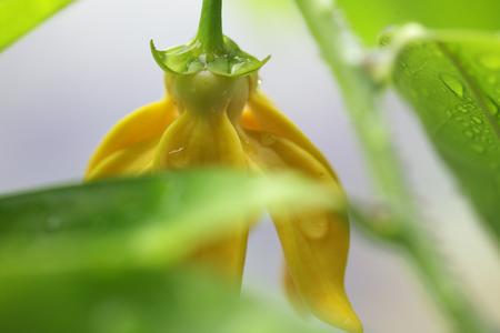 odorous: ylang ylang flower