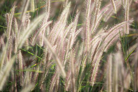 ance: reeds grass background.