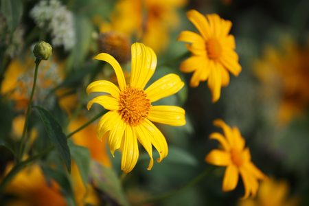 mexican sunflower background.