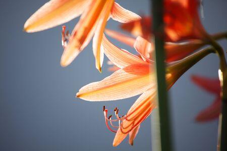 Orange Amaryllis flower blooming with dark copyspace background.