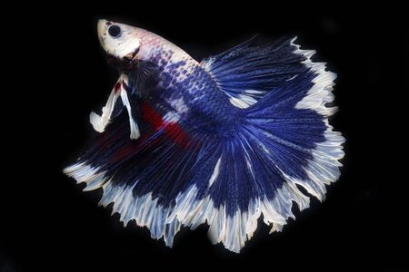 colorful betta isolated on black background. Stock Photo