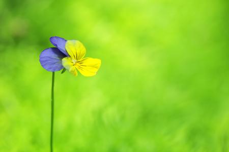 viola flower on green copyspace background. Stock Photo