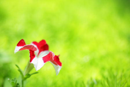 colorful petunia flower on fresh moss sedum background with green copyspace. Stock Photo