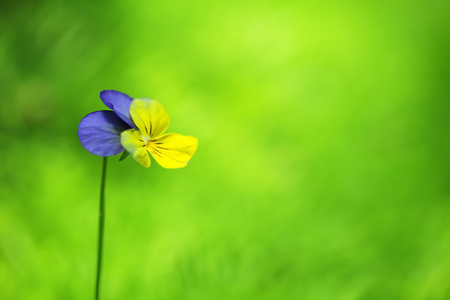close up of viola flower on green background.