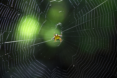animal trap: beautiful spiny orb weaver building on cobweb with green bokeh background. Stock Photo