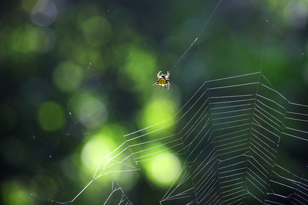 beautiful spiny orb weaver building on cobweb with green bokeh background. Stock Photo