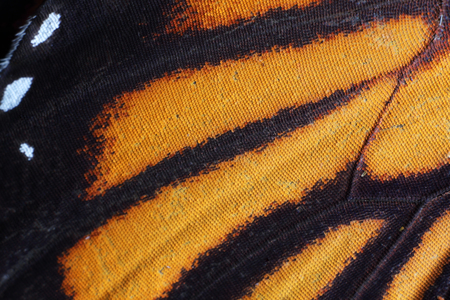 extreme close up: extreme macro of butterfly wing texture