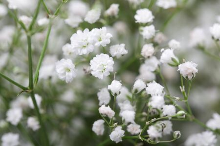 Close up of little white Gypsophila(Babys-breath) flowers on blur background