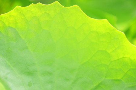 drop water: close up of fresh lotus leaf as background. Stock Photo