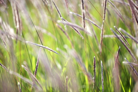 close up of reeds grass background.