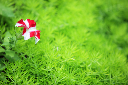 colorrful blooming petunia flower with green fresh gold moss sedum texture background.