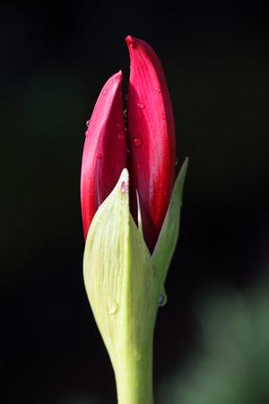 close up bud of amaryllis flower background. Stock Photo