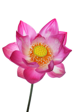 blooming lotus flower isolated on white background. Stock Photo