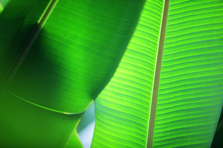 texture of green banana leaf background. Banque d'images