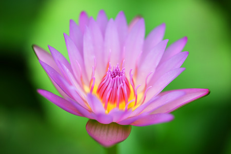 close up of beautiful lotus flower background