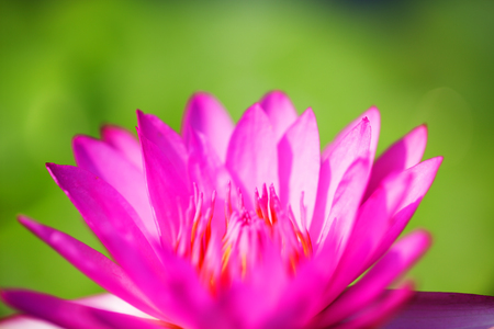 close up  of beautiful blooming lotus(water lily) flower background