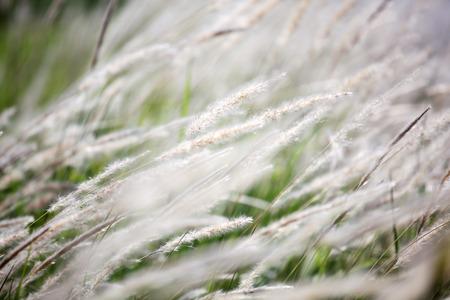 close up of reeds grass flower background