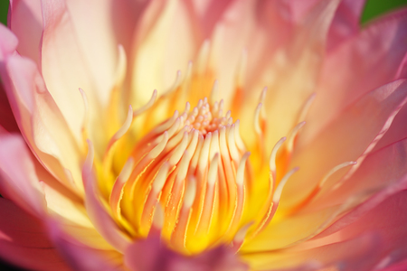 close up of beautiful lotus flower background.