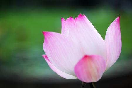 close up of beautiful blooming lotus flower Imagens