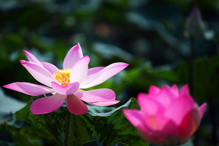 blooming beautiful lotus flower
