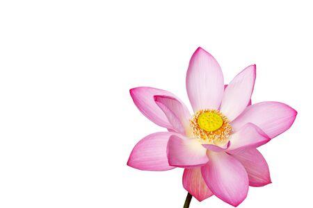 blooming lotus flower isolatrd on white background
