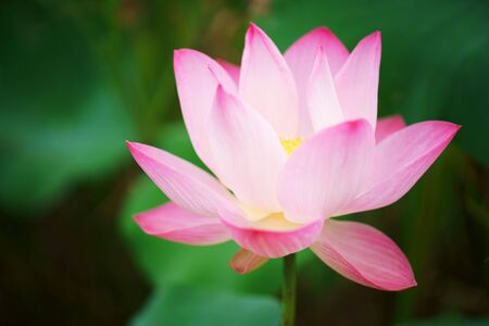 close up of beautiful lotus flower
