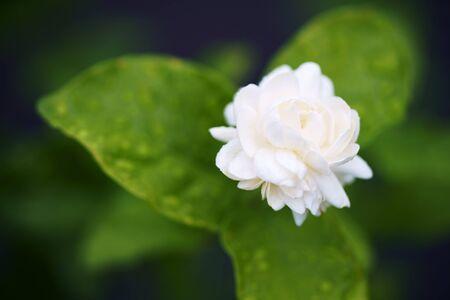 close up of beautiful white jasmine flower