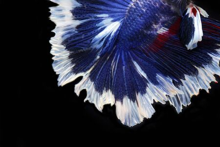 close up of Siam betta fighting fish,Betta splenden( Pla-kad),colorful Betta fish isolated on black background.