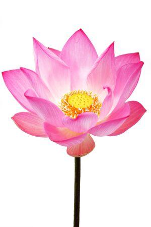 beautiful lotus flower isolated on white background Imagens