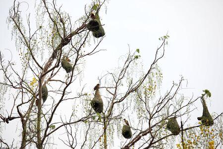 golden weaver nest on tree background Foto de archivo
