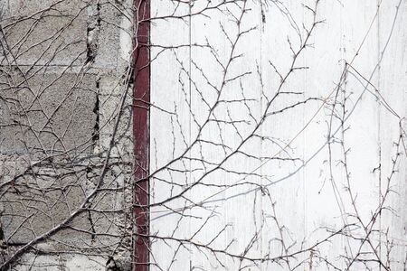 dry vine tree on abandoned wall Stok Fotoğraf