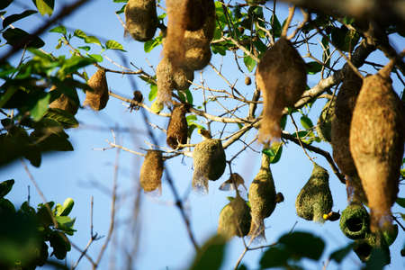 the colony of bird's nest, weaver on a tree, against the blue sky