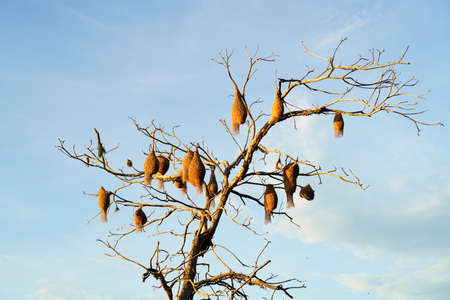 A group of weaver bird nest hanging on leafless tree under the cloud blue sky, the peaceful weaver village