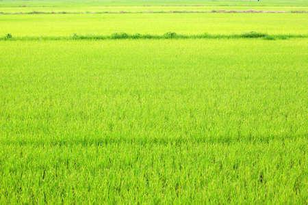 Green rice field farm background day rural scene