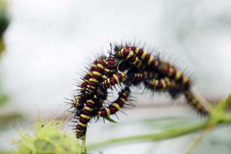 close up horde of colorful caterpillar eating green plant with beautiful bokeh background