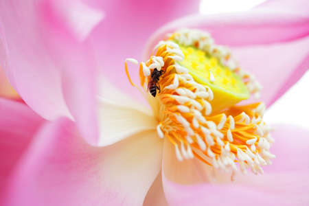 close up of bee on lotus flower.