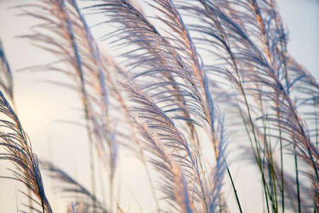 wind blowing white reeds grass flower field, sunset sky in the evening